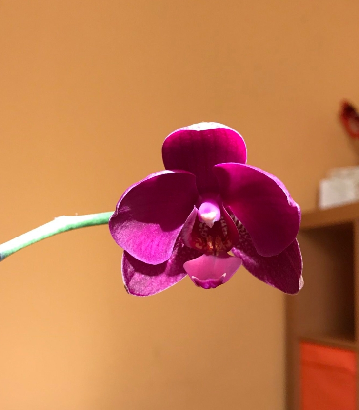 dark pink orchid flower